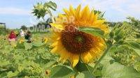Sun Flower Garden, Kecamatan Kudu, Kabupaten Jombang