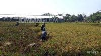 Panen padi yang dilakukan para petani di Bareng.KabarJombang.com/Daniel Eko/