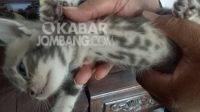 Kucing milik warga Dusun Beyan, Desa Pandanwangi, Kecamatan Jombang, bertuliskan kalimat tauhid. KabarJombang.com/Diana Kusuma/