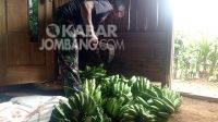 Sutikno saat membersihkan pisang hasil kebun di Wonosalam, Jombang, Jumat (30/7/2021). KabarJombang.com/Diana Kusuma/