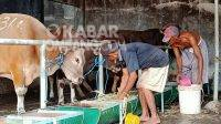 Peternakan sapi di Desa Kepuh Kembeng, Kecamatan Peterongan, Kabupaten Jombang. KabarJombang.com/M Faiz H/