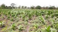 Jatuh Bangun Petani Tembakau di Kabuh Jombang, Gagal Tanam hingga Pupuk Terbatas