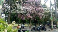 Potret keindahan bunga Tabebuya di alun-alun Kabupaten Jombang, Rabu (8/9/2021). KabarJombang.com/Diana Kusuma/
