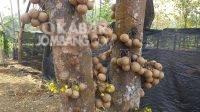 Tanaman buah kepel yang menjadi buah favorit putri keraton di Wonosalam, Jombang, berbuah setahun sekali. KabarJombang.com/Diana Kusuma/