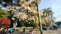 Bunga Tabebuya di Alun-alun Jombang bermekaran, jadi tempat foto Instagramable. Kabarjombang.com/Diana Kusuma/