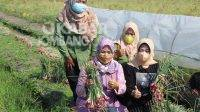 Komisi IV DPR RI, Ema Ummiyyatul Chusnah atau Ning Ema panen bawang merah bersama kelompok tani wanita di Jatigedong, Ploso, Jombang, Kamis (9/9/2021). KabarJombang.com/Istimewa/